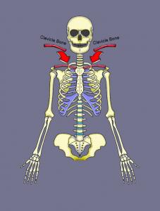 The Clavicle Bone